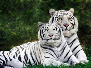 kaplan resmi 300x225 Birbirinden Vahşi Hayvanlar