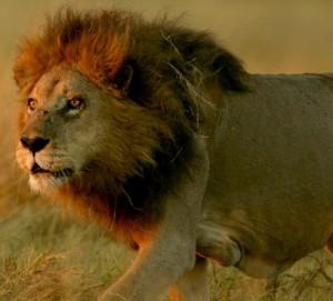 vahşi aslan